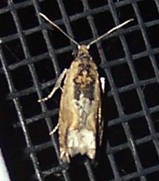 Small moth - Crocidosema plebejana
