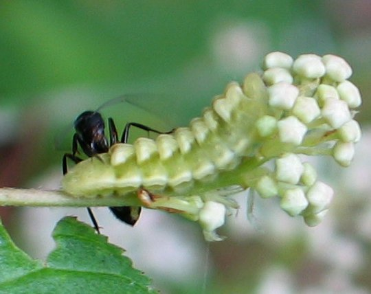 bumpy caterpillar - Celastrina serotina
