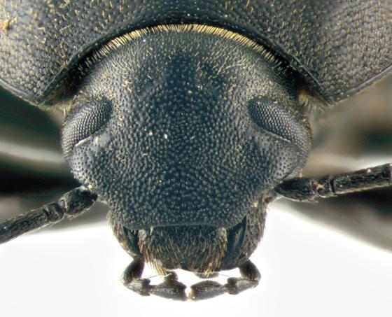 Tenebrionidae, head - Eleodes tricostata