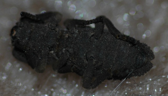 Ironclad Beetle? - Sesaspis emarginata