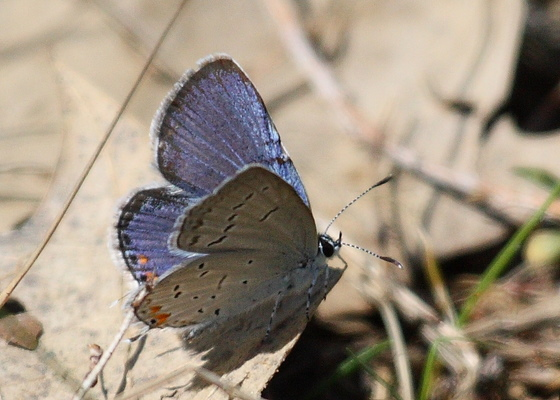 Butterfly at the Plainsboro Preserve NJ - Cupido comyntas