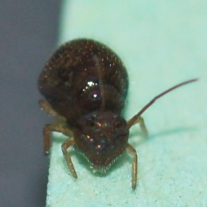 Shiny springtail - Pseudobourletiella spinata