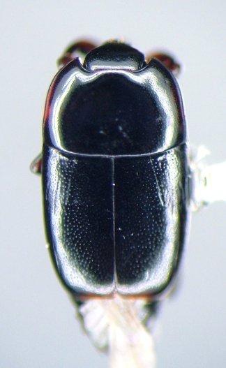 Platylomalus aequalis