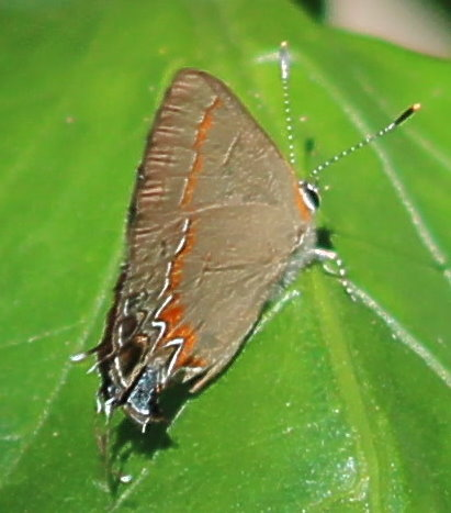 Unknown Butterfly - Calycopis cecrops