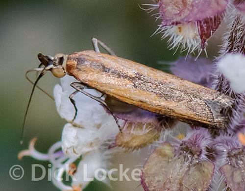 Small Moth (?) - Elasmopalpus lignosellus