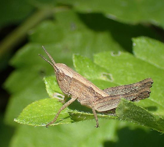 grasshopper - Dichromorpha viridis