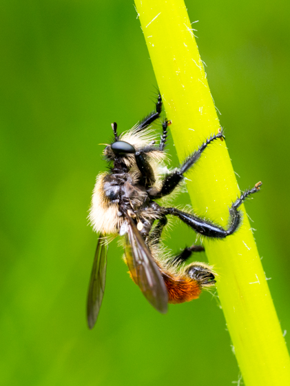 Hairy wasp - Laphria janus - male