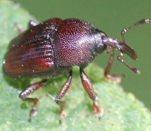 Curculionidae - Aulobaris scolopax