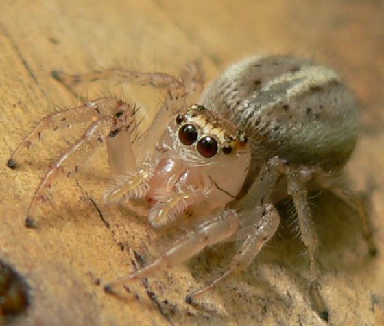 Jumping spider - Colonus sylvanus - female