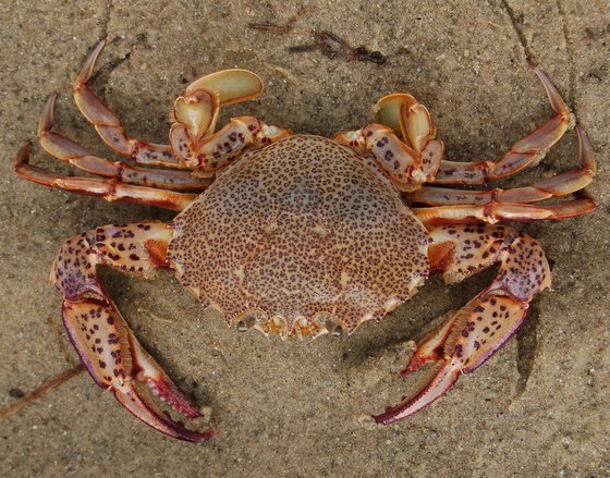 Leopard-spotted crab - Ovalipes ocellatus