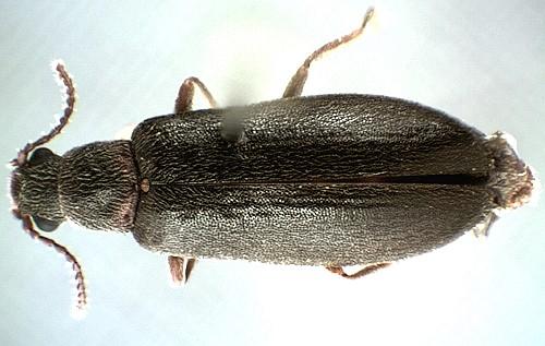 Lacconotus Sp? - Lacconotus pinicola - male