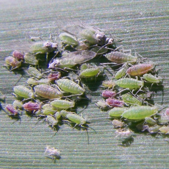 Aphids - Hyalopterus