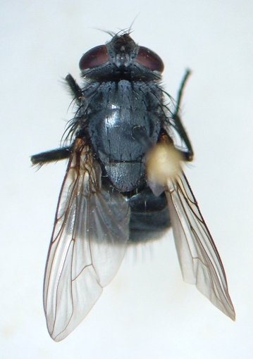 Muscina pascuorum - female
