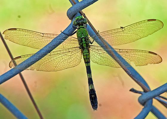 Eastern Pondhawk - Erythemis simplicicollis - female