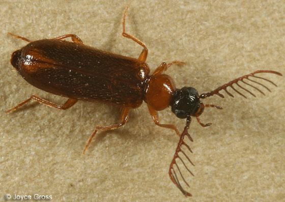 beetle - Pedilus flabellatus - male