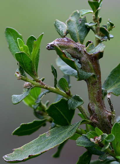 Gall - Midge (Fly) - Rhopalomyia baccharis - Rhopalomyia baccharis