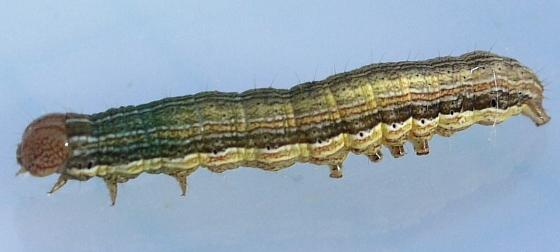 caterpillar - July 2 - Mythimna unipuncta