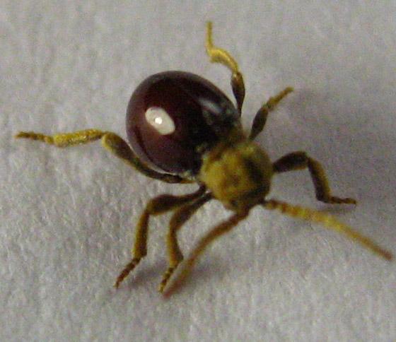 Brown/black bug - Mezium americanum
