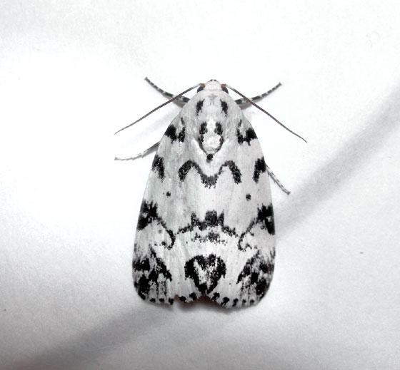 Hebrw moth - Polygrammate hebraeicum