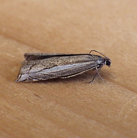 Unknown Microlep - Raphiptera argillaceellus
