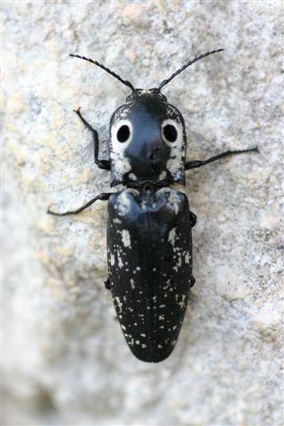 Alaus lusciosus or oculatus?  Eyed Click Beetle - Alaus lusciosus