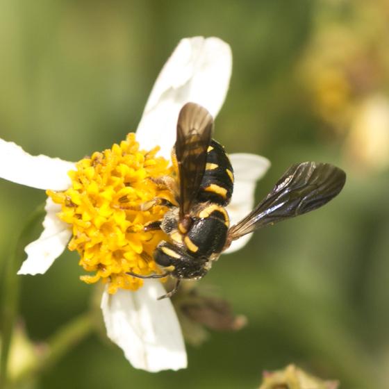 Resin Bee - Dianthidium curvatum - female
