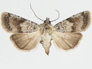 Hodges # 10823  - Euxoa cincta - female