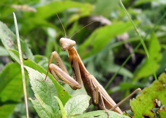 Mantis - Mantis religiosa