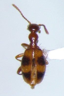 Anthicid - Acanthinus scitulus