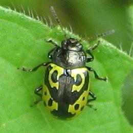 beetle - Zygogramma signatipennis