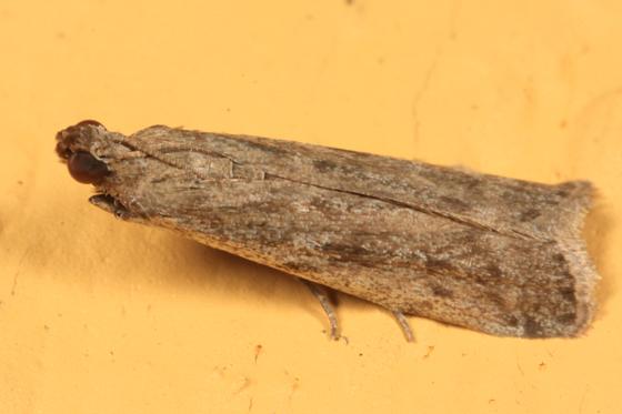 small tan moth