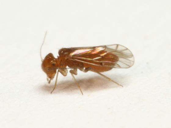 Ectipsocopsis cryptomeriae (Enderlein) - Ectopsocopsis cryptomeriae - female