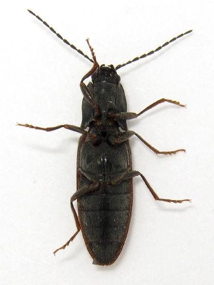 Interesting click - Hemicrepidius hemipodus