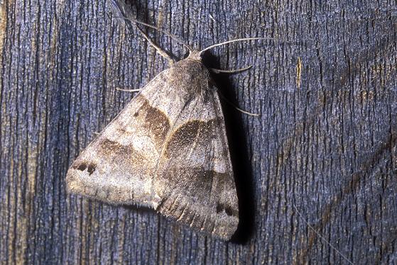 Moth species - Caenurgina erechtea