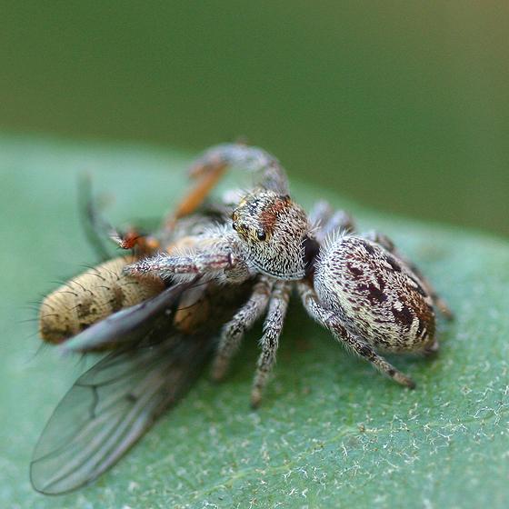 Jumping Spider - Eris militaris