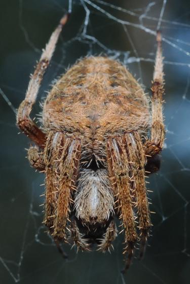 brown orb weaver 1 - Neoscona crucifera