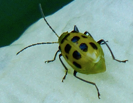 Spotted Cucumber Beetle (Diabrotica undecimpunctata) - Diabrotica undecimpunctata