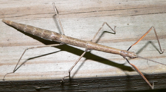 Northern Walkingstick - Diapheromera femorata - female