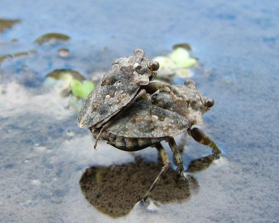 Big-eyed Toad Bug? - Gelastocoris oculatus - male - female