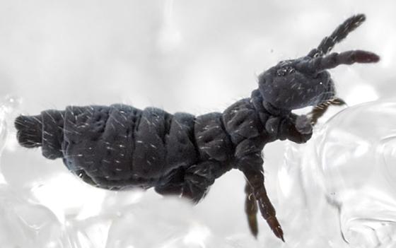 Springtail - Hypogastrura nivicola