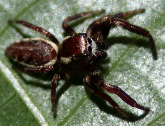 Jumping Spider - Phanias albeolus