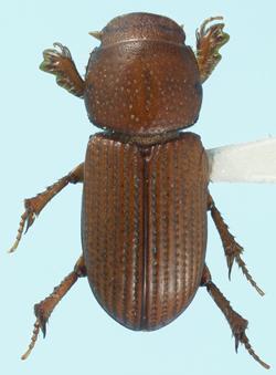 Caelius montanus (Brown) - Caelius montanus