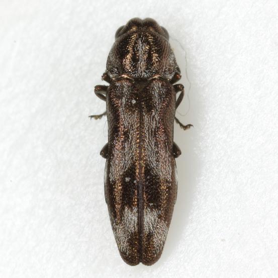 Agrilus subcinctus Gory - Agrilus subcinctus