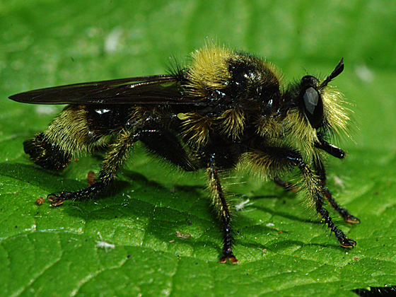 Bee-like Robber Fly - Laphria astur