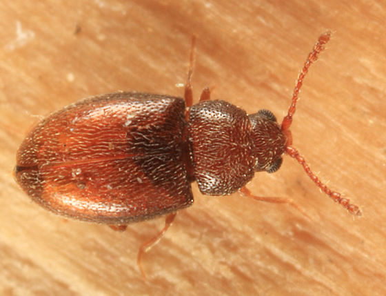 Silken Fungus Beetle - Atomaria fuscata
