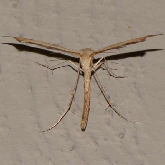 A Treat from Pterophoridae
