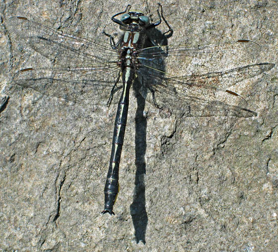 Clubtail? - Phanogomphus borealis - male