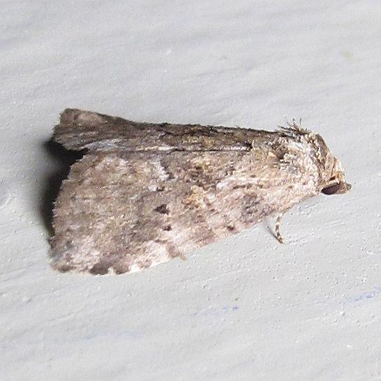 Hodges #9038 - White-lined Graylet  - Hyperstrotia nana