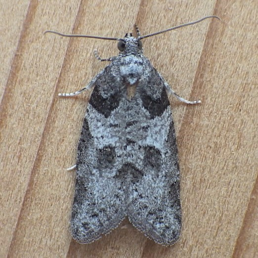 Tortricidae: Decodes basiplagana - Decodes basiplagana