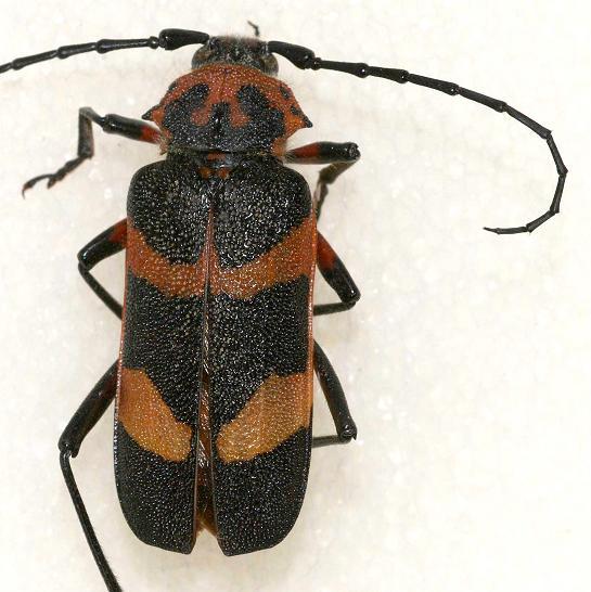 Megapurpuricenus magnificus (LeConte) - Megapurpuricenus magnificus - female